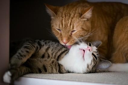 Erfolgreiche Zusammenführung: Nach ein paar Wochen werden die Katzen dicke Freunden.