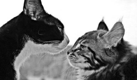 Katzen zusammenführen: Läuft der erste Kontakt schief, kann eine lebenslange Feindschaft entstehen.