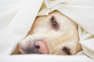 Borreliose beim Hund ist eine schwere Erkrankung.