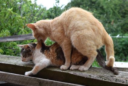 Katzen paaren sich