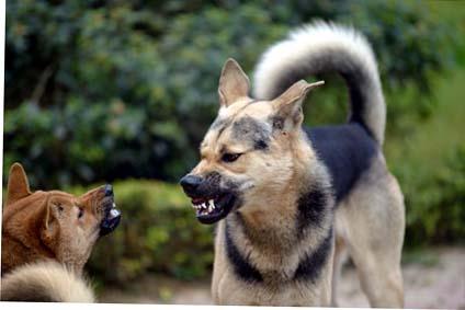 Mobbing unter Hunden.