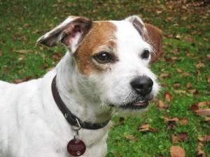 Lieb aber doof: Durch die Domestierzung haben Hunde Grips eingebüßt.