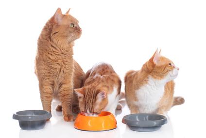 Katzen am Futternapf: Ein hoher Rand am Napf schmerzt beim Fressen.