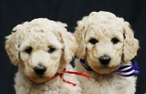 An erster Stelle der beliebtesten Hundenamen: Sam und Luna