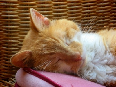 Katzen schnurren auch bei Angst