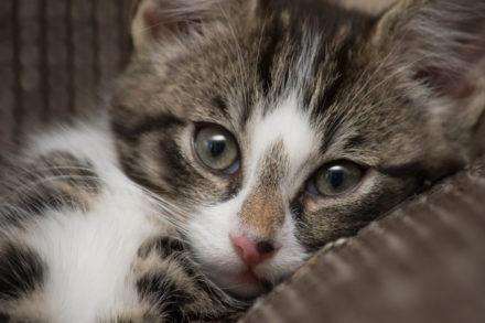 Katzenhaare entfernen von Teppich, Couch und Polster