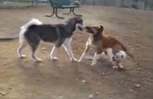 Mobbing unter Hunden: Der Malmute bedrängt ihn vorn vorne, der kleine weiße Hund beißt von hinten.