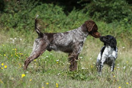 Fremde Hunde gehen nur fronatal aufeinander zu, wenn sie Domianz zeigen wollen.