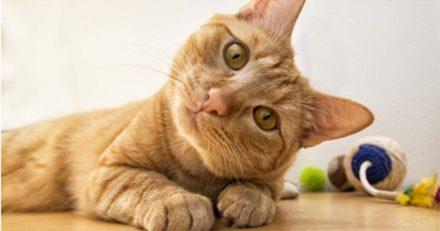 Ein zufriedene Katze ist verspielt, interessiert und neugierig. Während des Sexualtriebs geht das alles verloren.