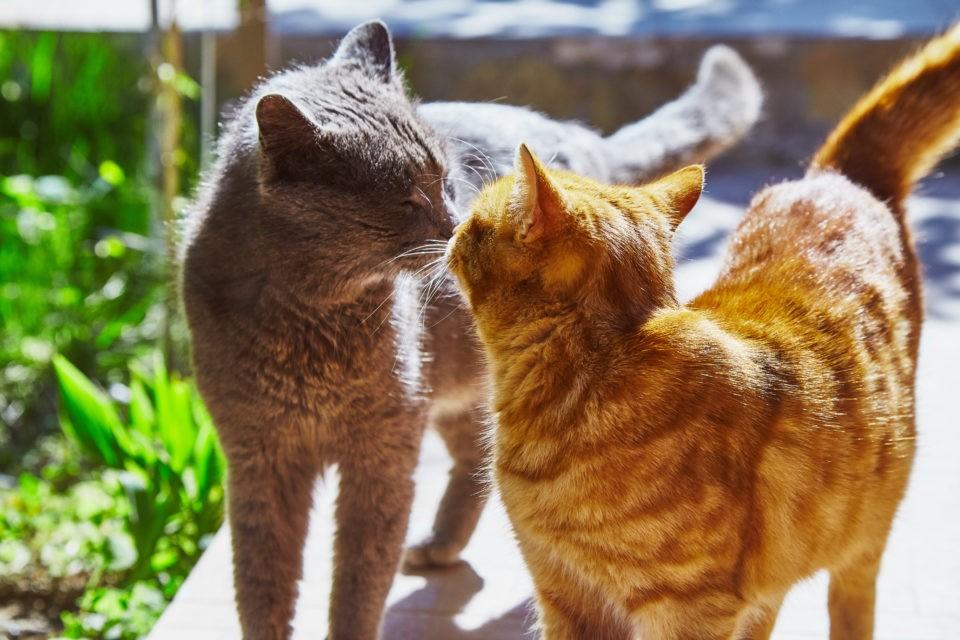 Nase an Nase, aber ohne Berührung: So begrüßen sich Katzen.