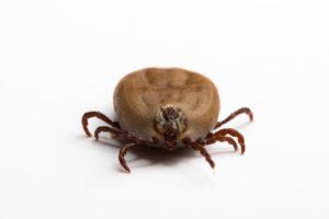 Etwa 5 bis 35 % der Zecken sind mit den gefürchteten Borrelien infiziert.