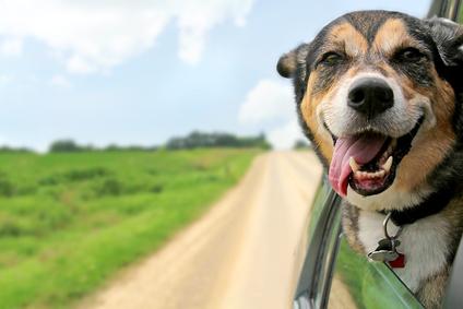 So sieht ein glücklicher Hund aus: leicht geöffnetes Maul, klare Augen, entspanntes Gesicht.