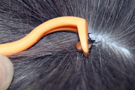 Zecken richtig entfernen bei Katzen und Hunden.